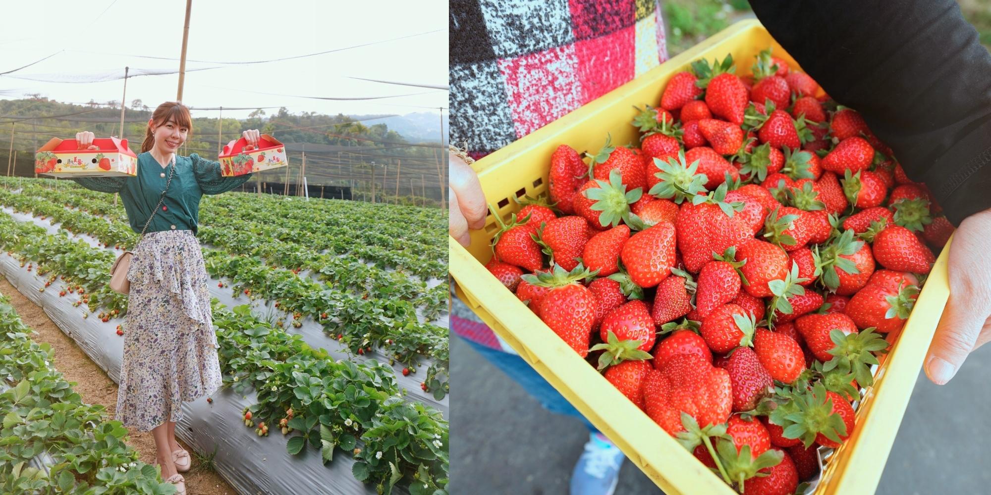 苗栗大湖幸福莓滿草莓園|大湖草莓園推薦|香水草莓、美姬草莓、豐香草莓|免門票草莓園